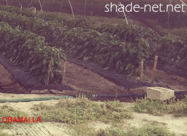 Crops protected using the shade cloth.